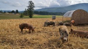 Alluvial Farm Pigs!