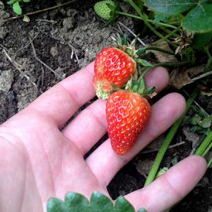 Barbies Berries First Strawberries