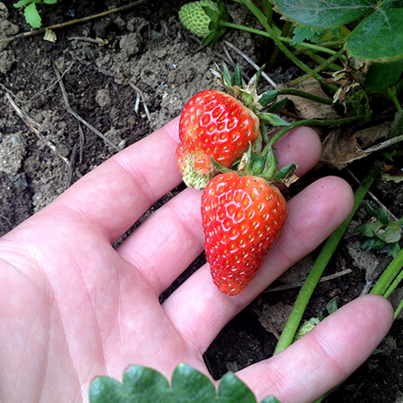 Barbies Berries First Strawberries