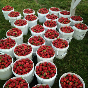Barbies Berries Strawberry Buckets