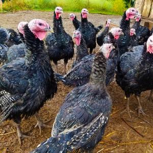 Free range Cedarville Turkeys