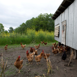 Free range Cedarville chickens!