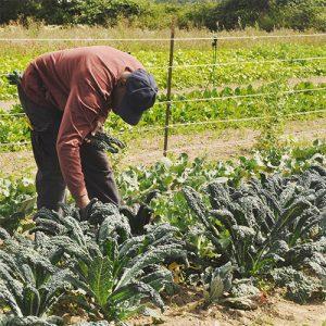 Picking Kale at Viva Farms