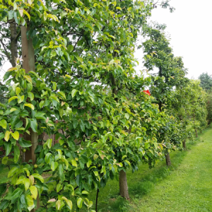 A row of trained trees at Haucks Orchard