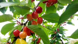 Haucks Orchard Rainier Cherries