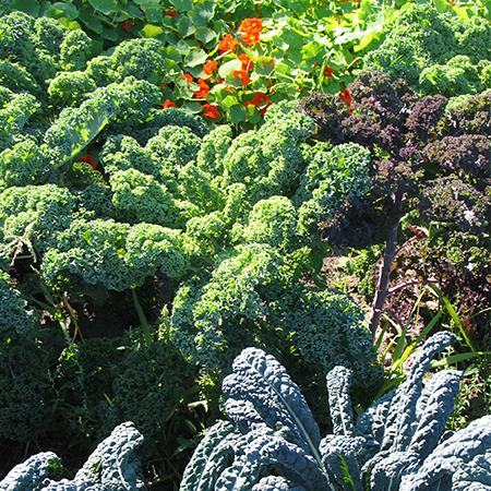 Kale Rabbit Fields