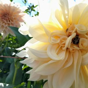 Triple Wren grows the iconic Cafe Ole dahlia