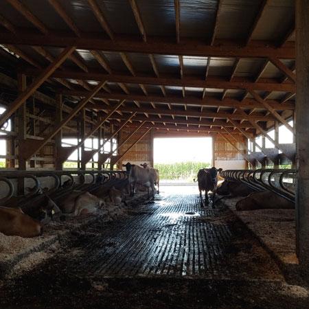 Twin Brook Creamery Cows in Barn