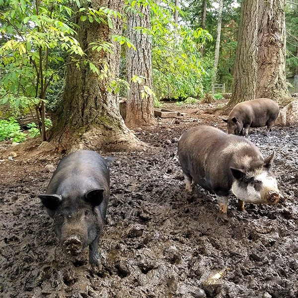 Wild Acres Farm Pigs