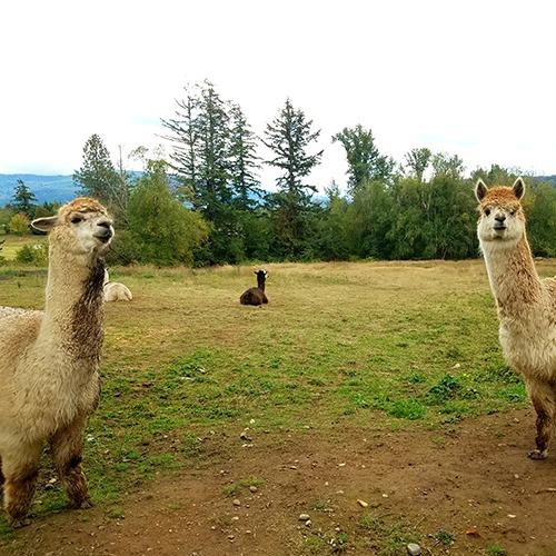 Wild Acres Alpacas