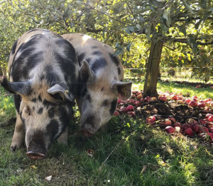 Alluvial Farm Pigs in Orchard